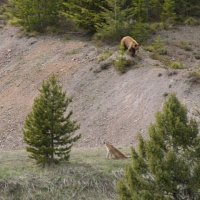BEAR vs MTN LION - Crazy Mountain Lion Encounter